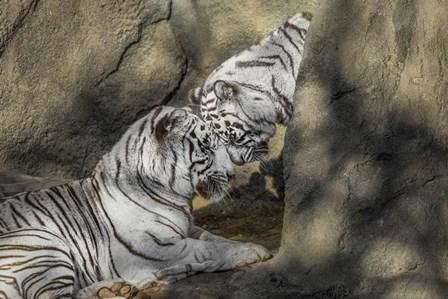 White Tiger Headbutt by Galloimages Online art print