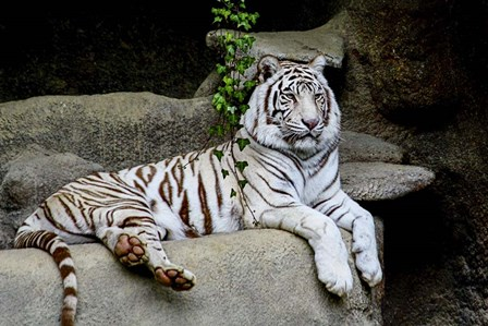 White Tiger by Galloimages Online art print