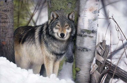 Lone Wolf in the Snow by Clarence Stewart art print