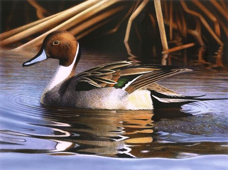 Northern Pintail I by Clarence Stewart art print