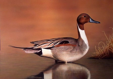 Northern Pintail II by Clarence Stewart art print