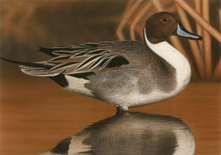 Northern Pintail III by Clarence Stewart art print