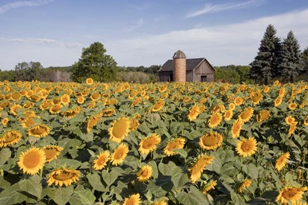 Sunflowers & Barn, Owosso, MI 10 by Monte Nagler art print