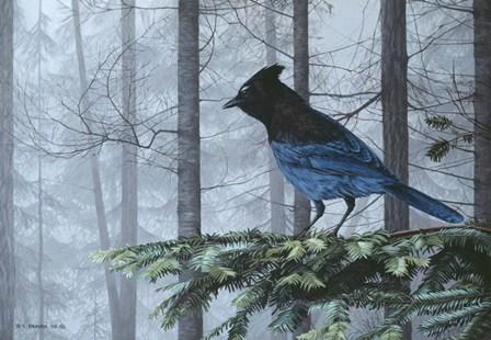 Stellers Jay In Fog by Ron Parker art print