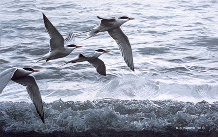 Above The Waves - Common Terns by Ron Parker art print
