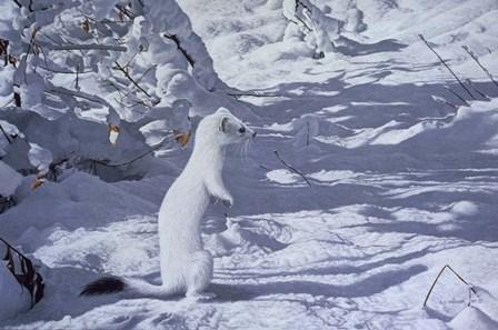 Winter Cloak - Ermine by Ron Parker art print