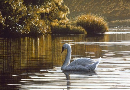 Morning On The Lagoon - Mute Swan by Ron Parker art print