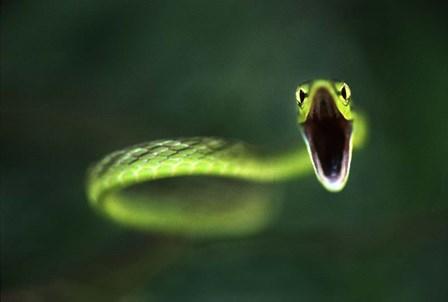 Vine Snake by Thomas Haney art print