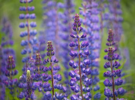 Blue Lupine Flowers by Cora Niele art print