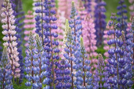 Blue Pink Lupine Flowers by Cora Niele art print