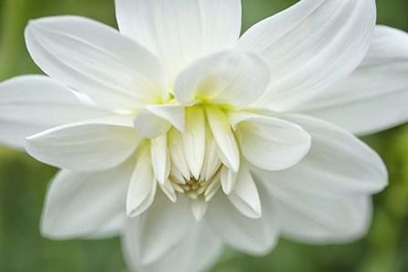 White Dahlia by Cora Niele art print