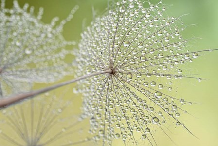 Dewy Dandelion by Cora Niele art print
