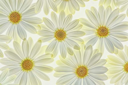 Daisy Flowers by Cora Niele art print