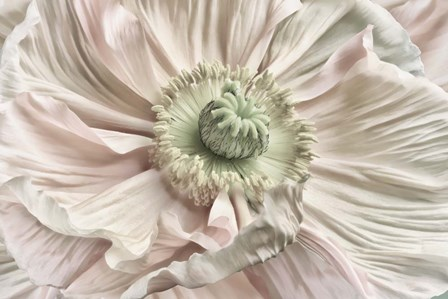 Pink Poppy by Cora Niele art print