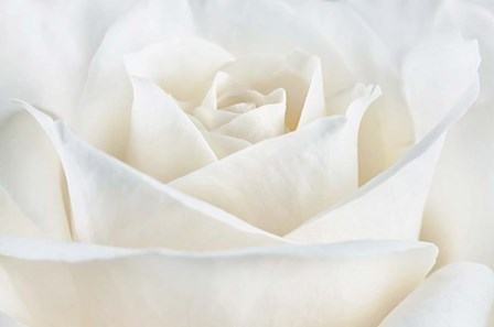 Pure White Rose by Cora Niele art print