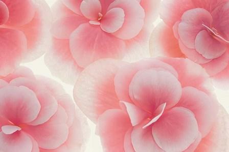 Rose Begonia Flowers by Cora Niele art print