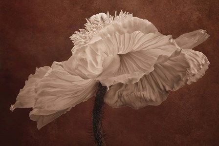 White Poppy by Cora Niele art print