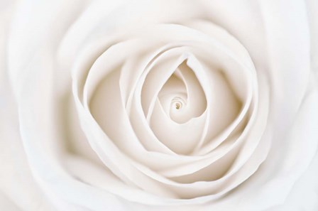 White Rose by Cora Niele art print