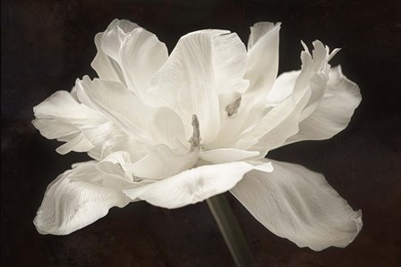 White Tulip I by Cora Niele art print