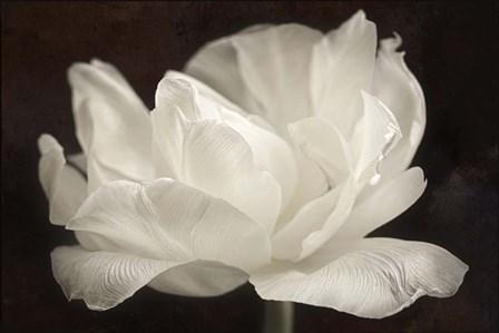 White Tulip III by Cora Niele art print
