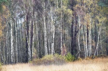 Birches by Cora Niele art print