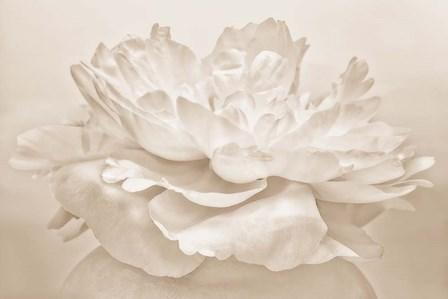 White Peony by Cora Niele art print