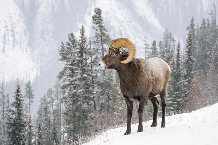 Bighorn in Snow by Michael Blanchette Photography art print