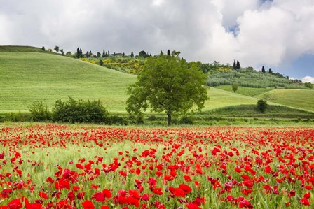 Tuscan Poppies by Michael Blanchette Photography art print