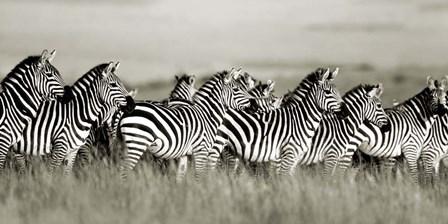 Grant's Zebra, Masai Mara, Kenya by Frank Krahmer art print