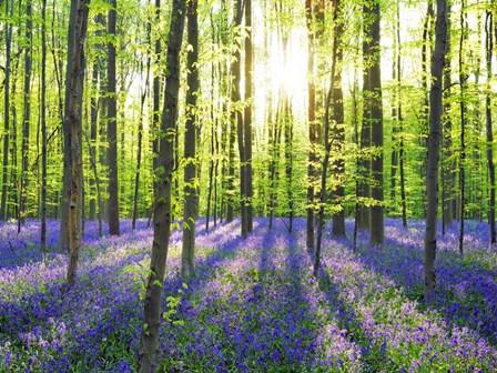 Beech Forest With Bluebells, Belgium by Frank Krahmer art print