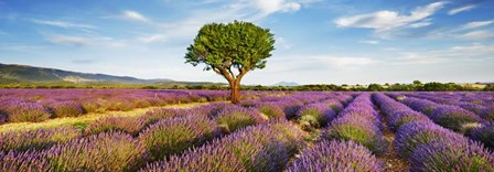 Lavender Field And Almond Tree, Provence, France by Frank Krahmer art print