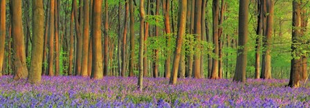 Beech Forest With Bluebells, Hampshire, England by Frank Krahmer art print