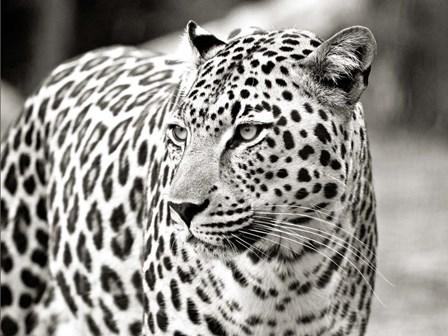 Portrait of Leopard, South Africa art print