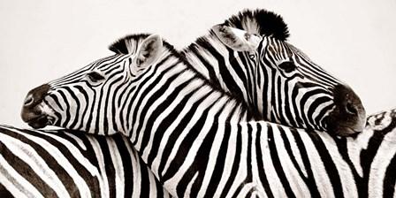 Zebras in Love art print
