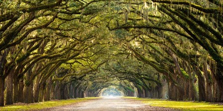 Path Lined with Oak Trees art print