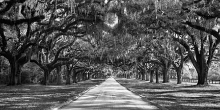 Tree Lined Plantation Entrance,  South Carolina art print