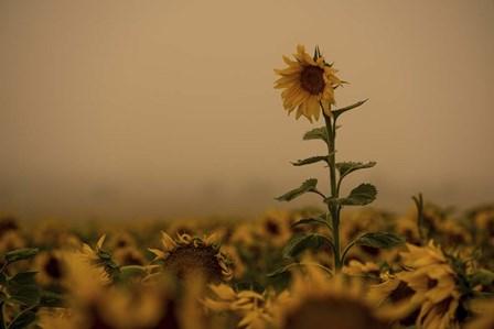 Sunflowers Fog by Dan Ballard art print