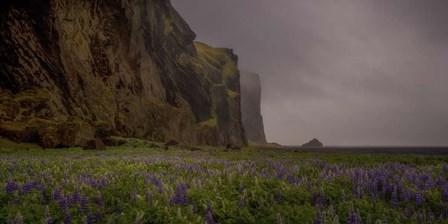 Lupins Cliffs by Dan Ballard art print