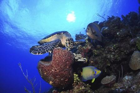 Hawksbill Sea Turtle eating, Castle Wall, Grand Cayman by Amanda Nicholls/Stocktrek Images art print