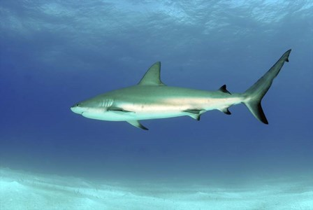 Caribbean reef shark, Nassau, The Bahamas by Amanda Nicholls/Stocktrek Images art print