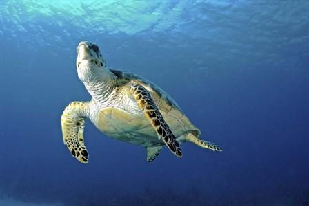 Hawksbill sea turtle ascending, Nassau, The Bahamas by Amanda Nicholls/Stocktrek Images art print