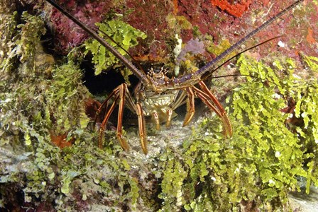 Spiny lobster hiding in the reef, Nassau, The Bahamas by Amanda Nicholls/Stocktrek Images art print