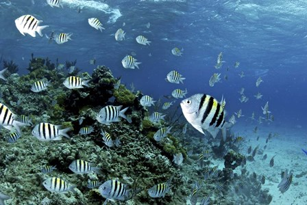 School of sergeant major fish, Nassau, The Bahamas by Amanda Nicholls/Stocktrek Images art print