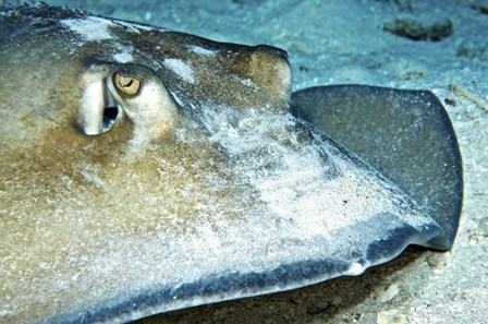 Close-up view of a Female Southern Atlantic Stingray by Amanda Nicholls/Stocktrek Images art print