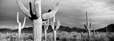 Arizona, Organ Pipe National Monument by Panoramic Images art print