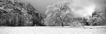 Snow covered oak tree in a valley, Yosemite National Park, California by Panoramic Images art print