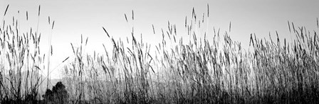 Tall grass in a national park, Grand Teton National Park, Wyoming by Panoramic Images art print