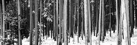 Lodgepole Pines and Snow Grand Teton National Park WY BW by Panoramic Images art print