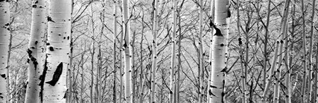 Aspen trees in a forest BW by Panoramic Images art print