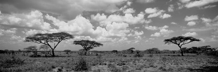 Acacia trees on a landscape, Lake Ndutu, Tanzania by Panoramic Images art print